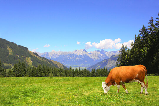Cow grazing in a mountain meadow in Alps mountains, Tirol, Austria