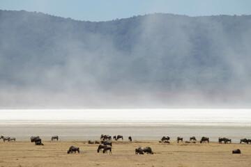 Fototapeta premium Herd of zebra and wildebeest foraging on the dried grasses in the wild