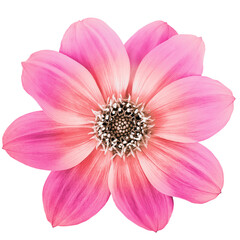 Dahlia purple flower on a white isolated background. Closeup. Nature.