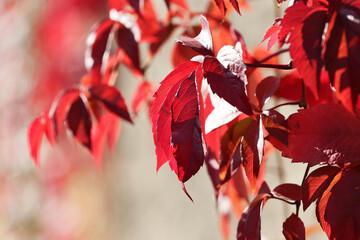 Piękne czerwone jesienne liście pnącza na ścianie.