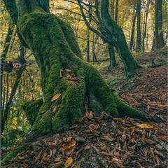 Obraz Stary las grądowy. Rezerwat Grądy nad Moszczenicą, drzewo porośnięte mchem - fototapety do salonu