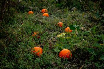 Obraz Dynie na polu, dynie na polu wśród chwastów, klimatyczne dynia w czasie jesieni - fototapety do salonu