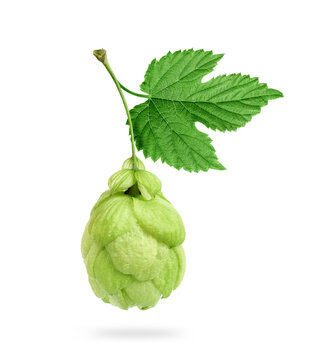Fresh hop cone with leaf close up isolated on white background