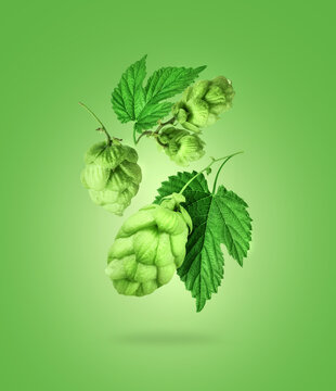 Fresh hop cones with leaves close up on green background