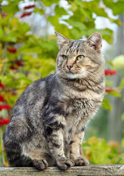 Domestic cat  with classic tabby color black marble on the background of autumn foliage