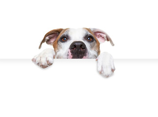 Obraz studio shot of a cute dog on an isolated background holding a blank white sign - fototapety do salonu