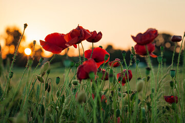 Red poppies in a field at sunset