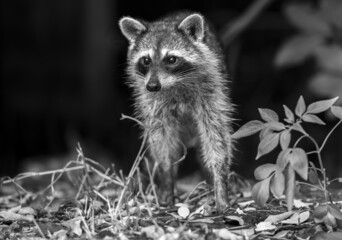 Fototapeta premium Close up shot of a small and cute fox standing on grass in a black and white with blurry background