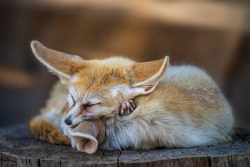 Fototapeta premium Pretty and cute Fennec or desert fox with funny big ears sleeping.