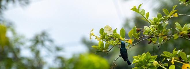Fototapeta Loten's Sunbird sipping nectar in the garden. obraz