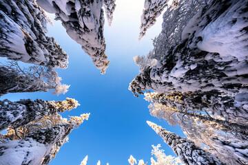 Winter scenery at Valtavaara, a popular snowshoeing destination close to Ruka skiresort in Finnish Lapland.