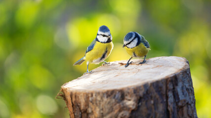 Two little songbirds sitting on the tree stump on green background. The blue tit ( Parus caeruleus )