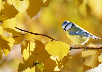 The little songbird perching on branch of yellow autumn birch. The blue tit ( Parus caeruleus )