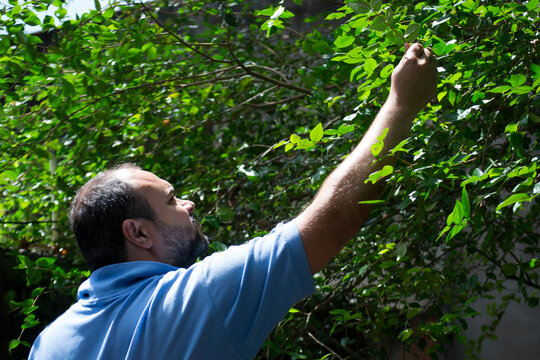 Young man harvesting pitanga (Eugenia uniflora) organically grown in an agroforestry system in the city of Rio de Janeiro, Brazil.