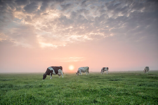cows grazing on pasture at sunrise