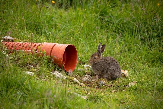 wild rabbit in grass in Alps