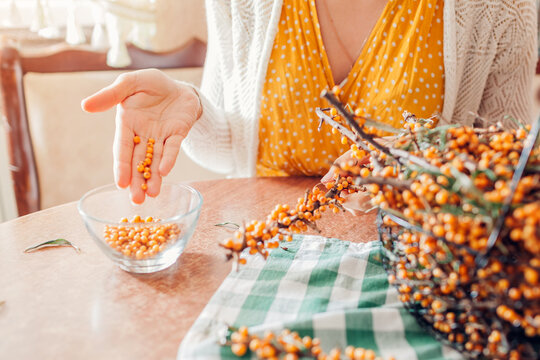 Woman stripping sea buckthorn berries from branches at home and puts it in bowl. Healthy fruit