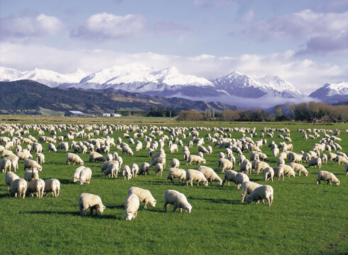 New Zealand, South Island with sheep grazing near TeAnau..