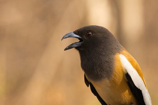 Side Portrait of Rufous Treepie also known as Tiger Bird
