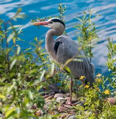 Fototapeta premium A gray heron on a blue lake stands among green trees