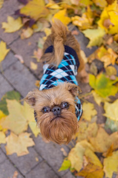 Dog of the Brussels Griffon breed  among autumn leaves