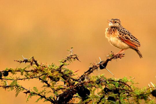Oiseau Sentinelle à gorge rose macronyx ameliae Afrique Kenya