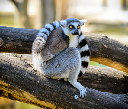 Lemur with tail wrapped round the body