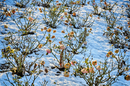 rose bushes with limp blossoms and a snowy ground at a sunny winter day