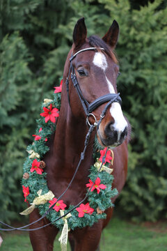 Portrait close up of a saddle horse  against natural green pine tree background wintertime