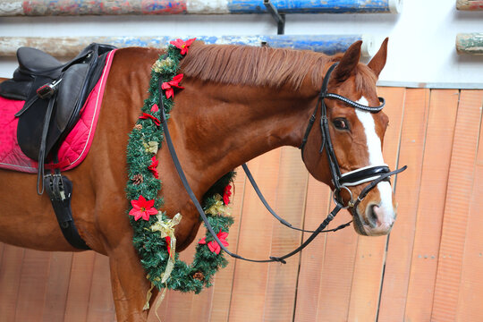Portrait close up of a saddle horse with christmas wreath decorations on the long neck