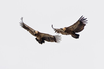 Fototapeta Griffon vultures, Gyps fulvus in Monfrague National Park. Extremadura, Spain obraz