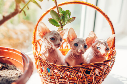 Three canadian sphynx kittens sitting in basket on window sill at home. Hairless pets with blue eyes. Cat family