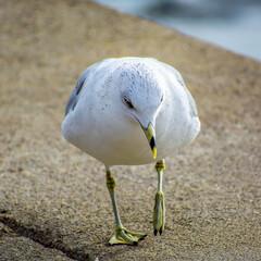 Fototapeta premium Ring-billed seagull