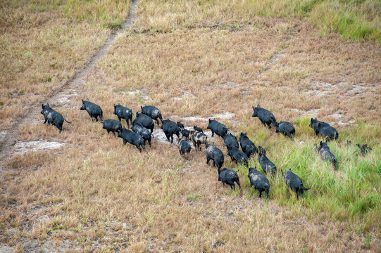 wild feral pigs  near the gulf of carpentaria North Queensland, Australia.
