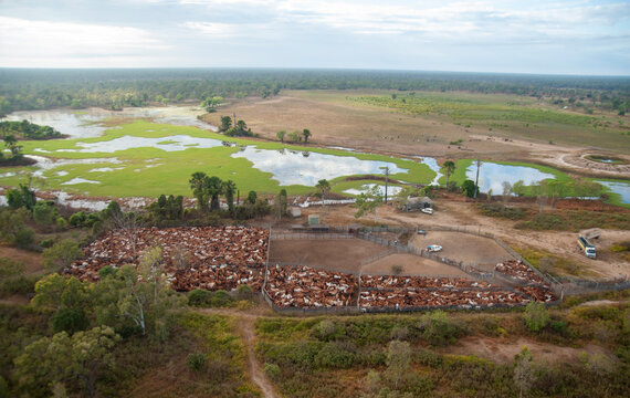 mustering braham cattle  on the flood plains near the gulf of carpentaria North Queensland, Australia.