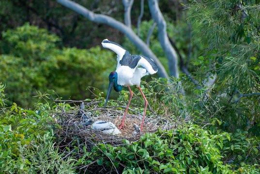 Jabiru or black necked stork on nest with young in  far north Queensland, Australia.