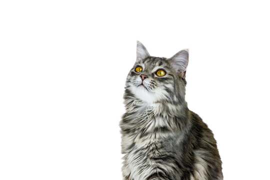 Portrait of a cat looking up with white background