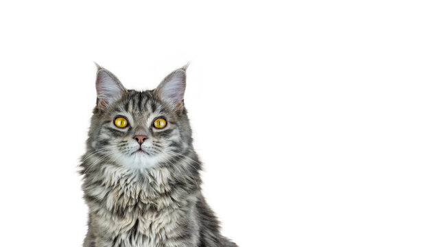 Portrait of a cat with yellow eyes looking at camera
