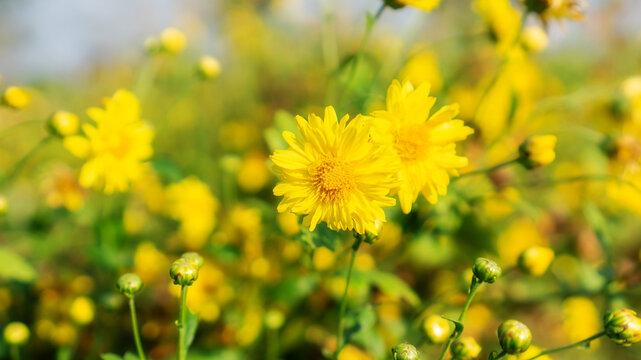 Close up of yellow Chrysanthemum flower in a garden.