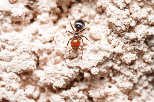 Close up on two worker ants Crematogaster scutellaris