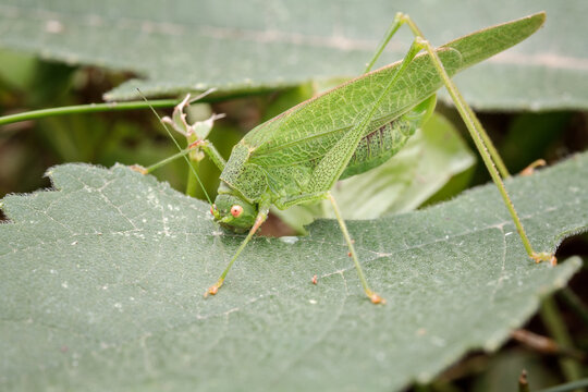 Phaneroptera falcata, the sickle-bearing bush-cricket. Species of bush-cricket belonging to the family Tettigoniidae
