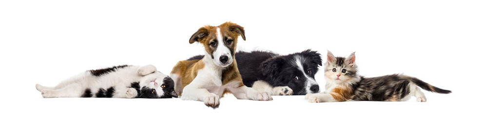 Crossbreed dog and cat, lying together, isolated on white
