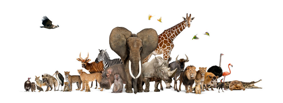 Large group of African fauna, safari wildlife animals together, in a row, isolated