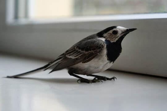 White wagtail sits on the windowsill near the window