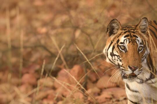 Side view portrait of Female Royal bengal tiger at Bandhavgarh