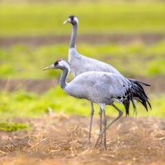 Fototapeta premium Common crane group feeding in agricultural field