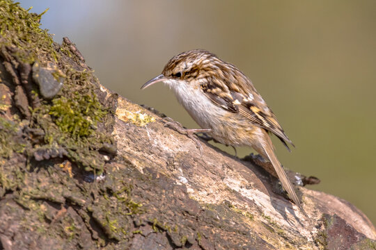 Short-toed treecreeper foraging on tree trunk in forest