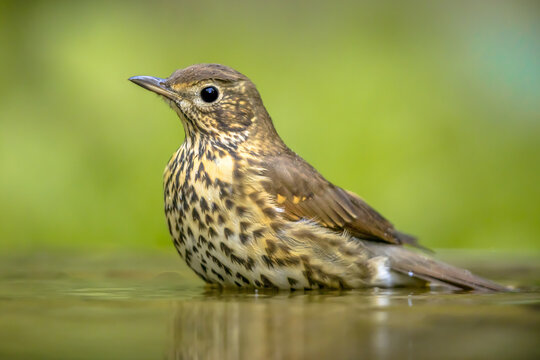 Song thrush bathing in water with blurred garden background