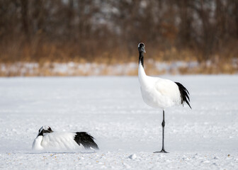 Fototapeta premium Red-crowned crane, Grus japonensis, in Hokkaido, Japan. Also called Manchurian crane and Japanese crane