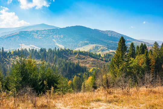 mountain landscape with spruce forest in autumn. trees on the grassy rolling hills. distant ridge in haze. bright nature scenery at high noon with fluffy clouds on the sky